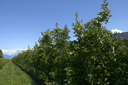 Val d'Adige (Bz), Italy,apple cultivation Foto de archivo - 112600272