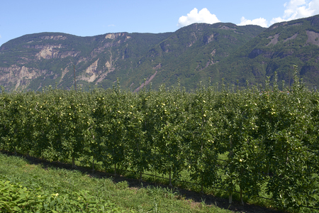 Val d'Adige (Bz), Italy,apple cultivation Foto de archivo - 112600273