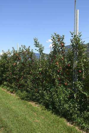Val d'Adige (Bz), Italy,apple cultivation Foto de archivo - 112600274