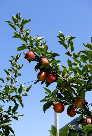 Val d'Adige (Bz), Italy,apple cultivation Foto de archivo - 112600279