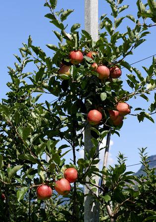 Val d'Adige (Bz), Italy,apple cultivation Foto de archivo - 112600280