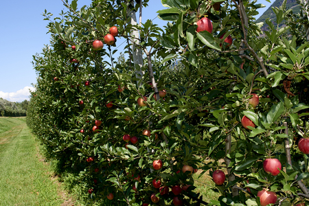 Val d'Adige (Bz), Italy,apple cultivation Foto de archivo - 112600281