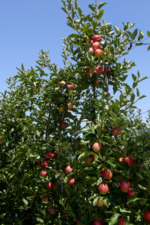 Val d'Adige (Bz), Italy,apple cultivation Foto de archivo - 112600284