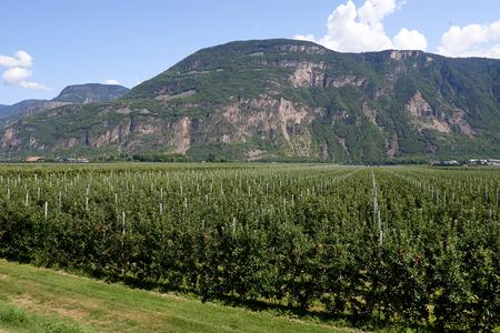 Val d'Adige (Bz), Italy,apple cultivation Foto de archivo - 112600285