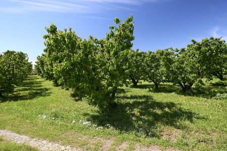 Vignola ((Mo), Italy,  cherry trees in April