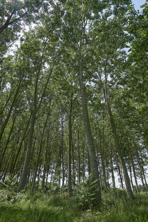 Bereguardo (Pv), Italy, a poplar grove Foto de archivo