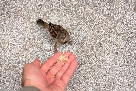a sparrow eats a cake directly from hand photo