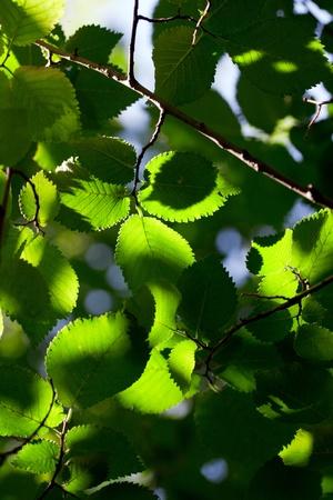 green leaves backlit Stock Photo