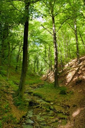 centenarian: arroyo en el bosque en primavera