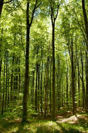 Green Forest in Spring Standard-Bild