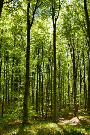 beech wood: Green Forest in Spring Stock Photo