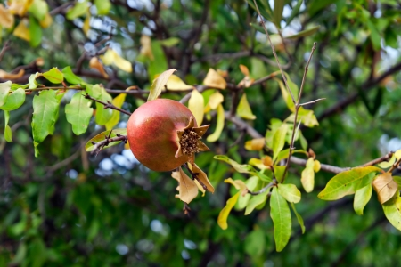 Ripe rose hip on tree