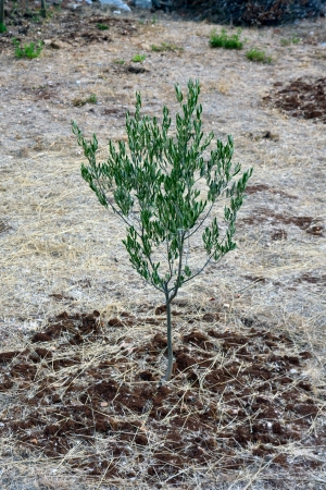 Young green olive tree photo