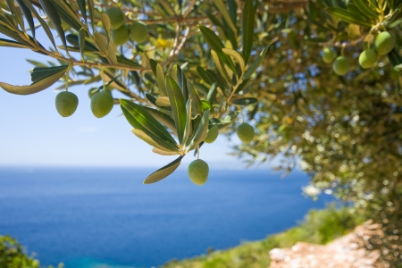 a olive tree on the sea background photo