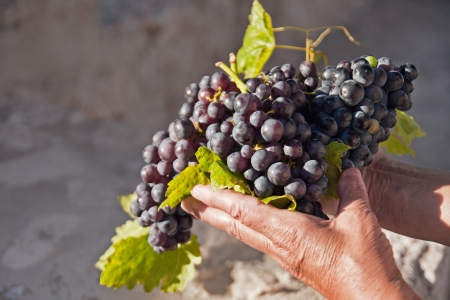 freshly picked grapes in hands