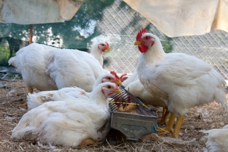grown ups: several white hens eating grain