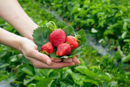 Strawberrys on leaf in the hands