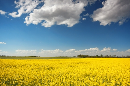 yellow beet field and blue sky