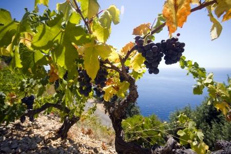 grape bunch and sea