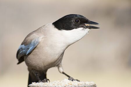 An Azure-winged magpie in the Monfrague National Park. Cyanopica cyanus. Zdjęcie Seryjne