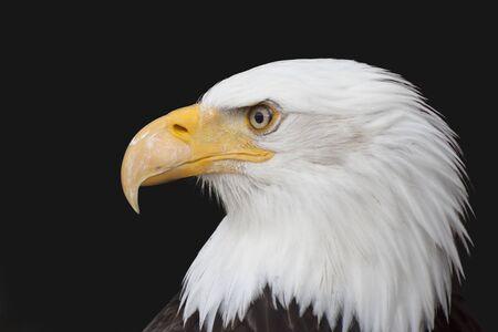 Bald Eagle - Haliaeetus leucocephalus in front of a black background