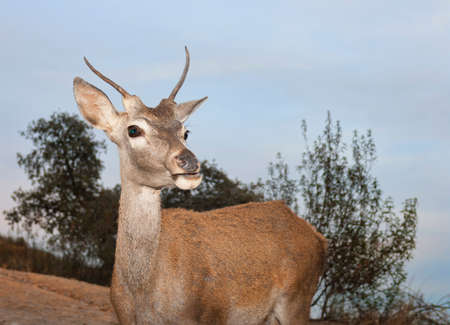 A young deer in the Monfrague National Park approaches looking for food