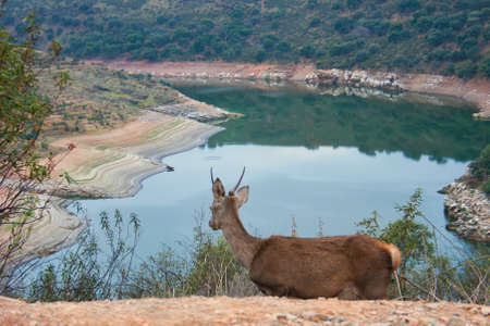 A young deer in the Monfrague National Park looking at the Tagus river in the mountains of Extremadura.