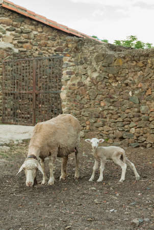 a lamb and its mother next to the block in Zarza de Granadilla, Caceres, Spain.
