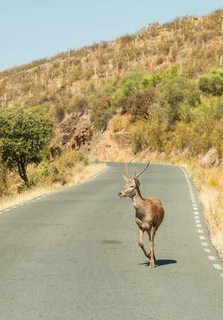 Deer walks across highway on a blind curve.