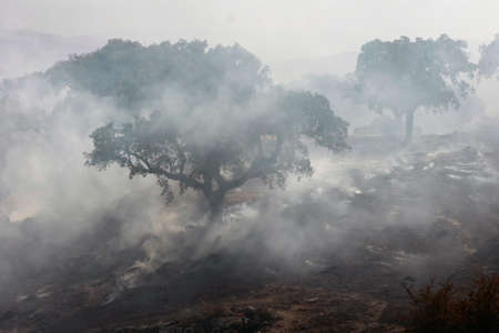 Fire in the Extremadura pasture. a fire burns several oaks during the dry season of summer