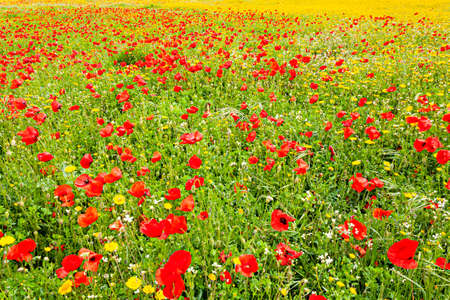 Huge field of poppies on the outskirts of Plasencia