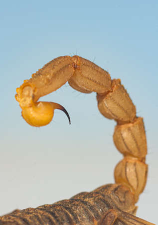 Detail of the powerful and sharp stinger of a scorpion where you can see a drop of its deadly poison. Macro.