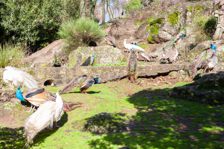 A group of fourteen colored and white peacocks in a garden.