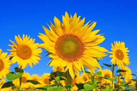 a sunflower: sunflower