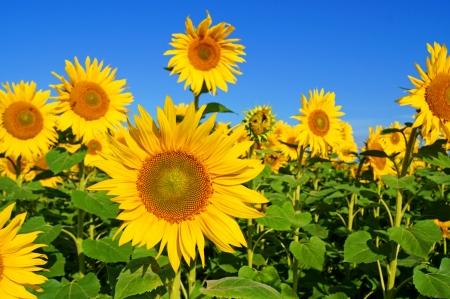 zonnebloem: zonnebloem Stockfoto