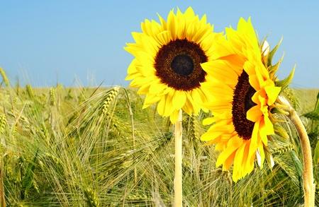 sunflower and corn
