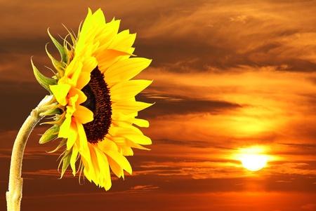 a sunflower: sunflower and sunset