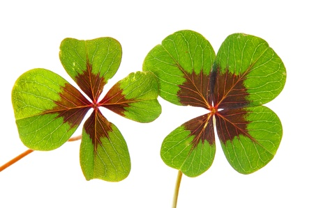 petalled four-leafed clover Stock Photo - 10462506