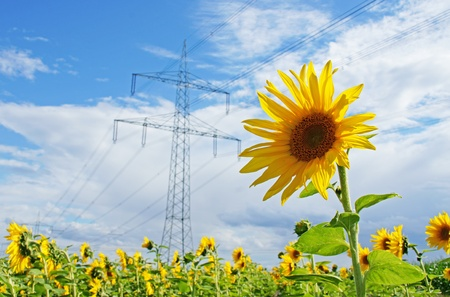 giant sunflower: current and sunflower