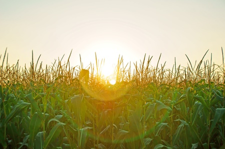 corn plant and sun photo