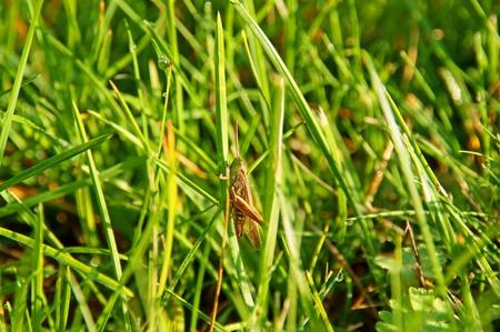 chorthippus: grasshopper Stock Photo