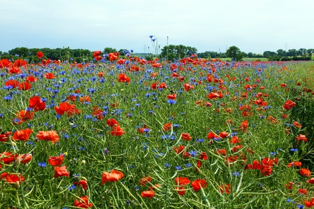 flower meadow photo