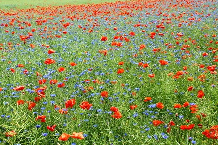 field of flowers: flower meadow