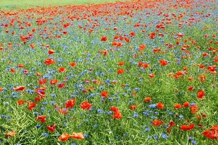garden cornflowers: flower meadow