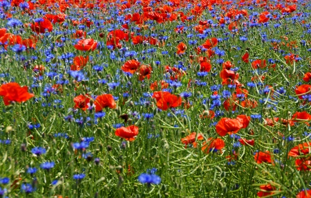 cornflower: flower meadow