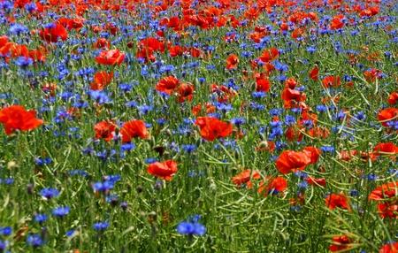 champ de mais: pr� de fleurs