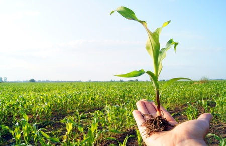 corn plant in the hand Stock Photo - 10535114