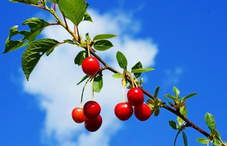 arbol de cerezo: Cerezo Foto de archivo