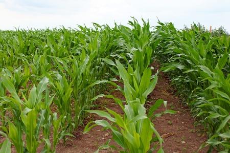 fodder corn: corn field