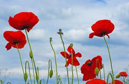 champ de mais: prairie fleurie